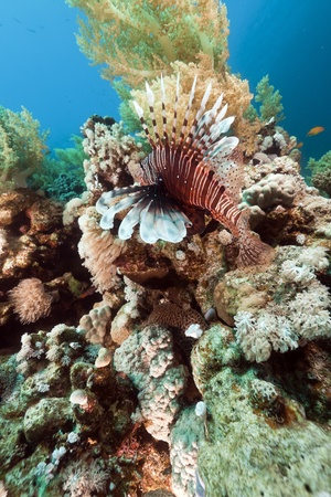 Lionfish and  underwater scenery in the Red Sea photo