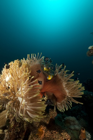 Magnificent anemone in the Red Sea photo