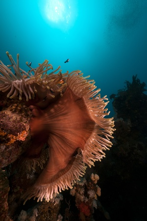 Magnificent anemone in the Red Sea Stock Photo - 13546446