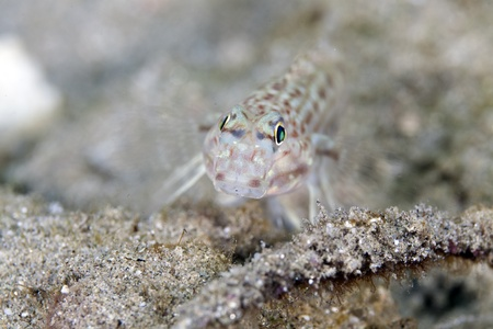 goby: Decorato goby close-up.