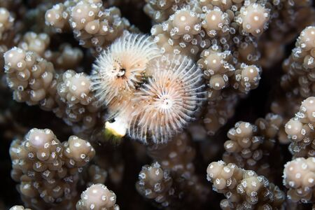 Christmas tree worm in the Red Sea photo