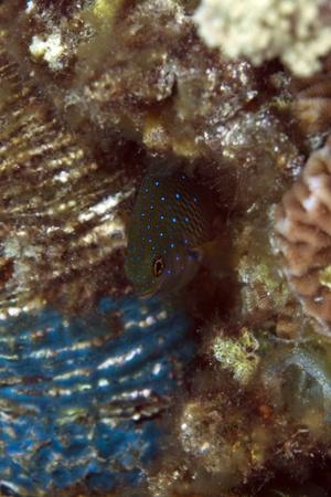 damselfish: Jewel damselfish in the Red Sea