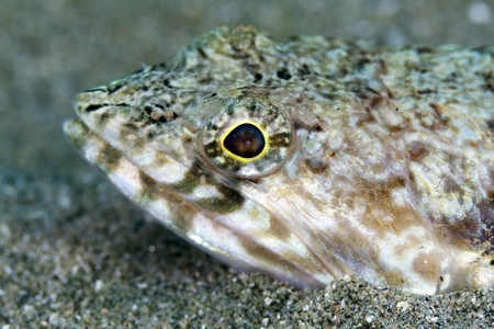 Close-up of a lizardfish in the Red Sea photo