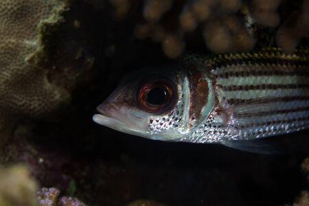 Spotfin squirrelfish in the Red Sea. photo