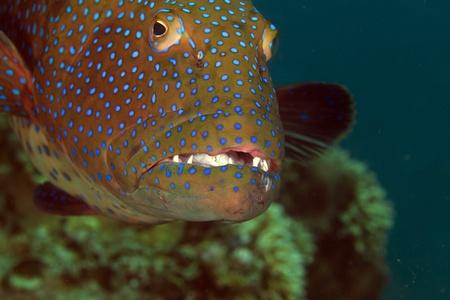 coralgrouper: Coralgrouper close-up in the Red Sea