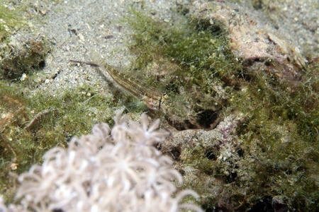 Eyebar goby in the Red Sea. Stock Photo - 13546923