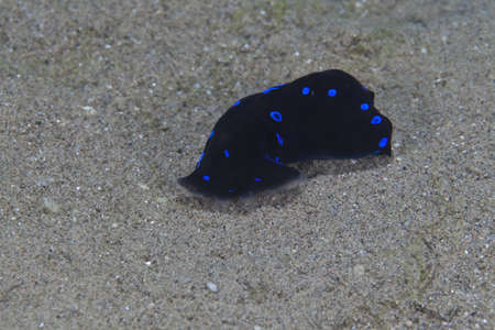 Blue-spotted shield slug in the Red Sea. Stock Photo - 13546644
