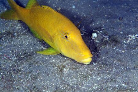 goatfish: Yellowsaddle goatfish in the Red Sea.