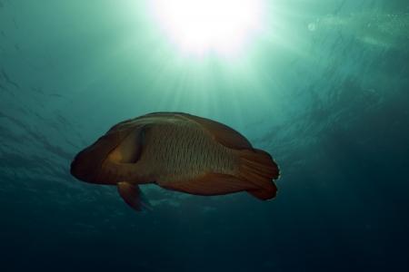 napoleon fish: Napoleon wrasse in the Red Sea