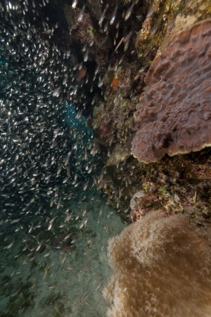 Glassfish and ocean in the Red Sea photo