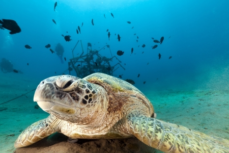Green turtle  in the Red Sea
