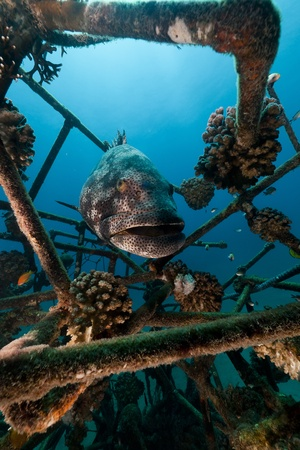 Malabar grouper in the Red Sea photo
