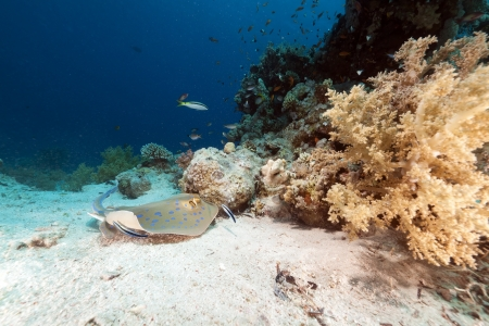 Bluespotted stingray in the Red Sea photo