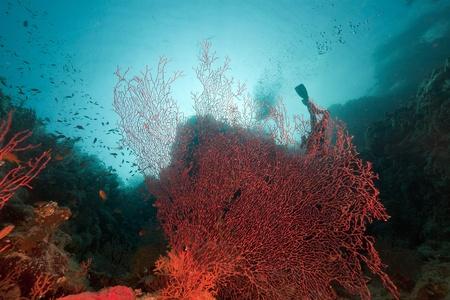 Sea fan in the Red Sea photo