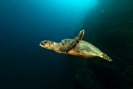 Hawksbill turtle in the Red Sea photo