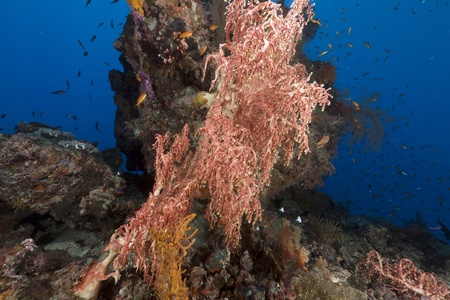 polyps: Fan-like clusters with polyps in the Red Sea