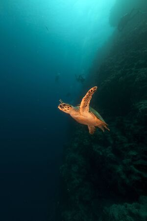 Hawksbill turtle and divers in the Red Sea photo