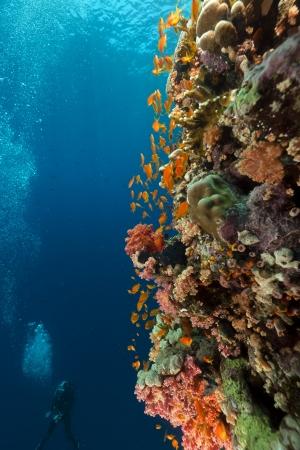 corales marinos: Arrecifes tropicales y buceador en el mar Rojo Foto de archivo