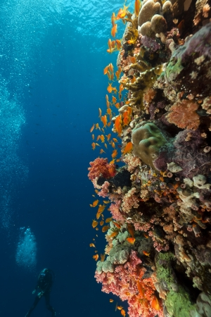Tropical reef and diver in the Red Sea photo
