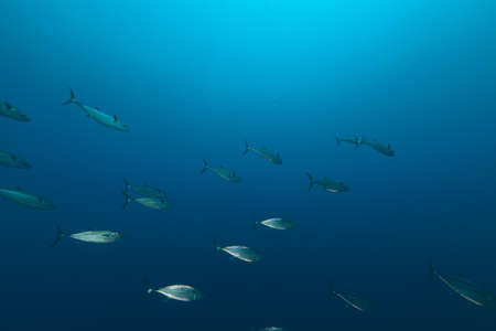 underwater life: Dogtooth tuna in the Red Sea.