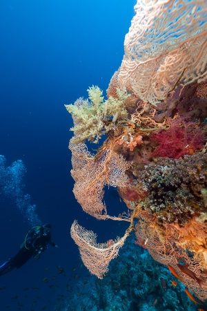sea fan: Diver and giant sea fan in the Red Sea.