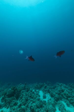 triggerfish: Redtooth triggerfish and tropical reef in the Red Sea. Stock Photo