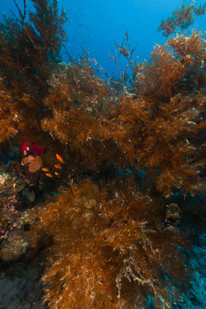 branching coral: Branching black coral in the Red Sea.