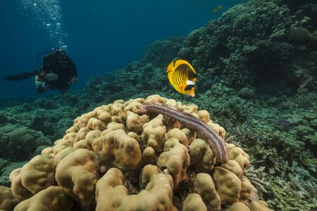 sea cucumber: Blackmouth sea cucumber in the Red Sea Stock Photo