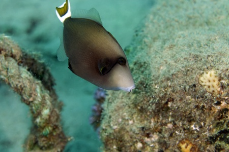Bluethroat triggerfish in the Red Sea Stock Photo - 17581111