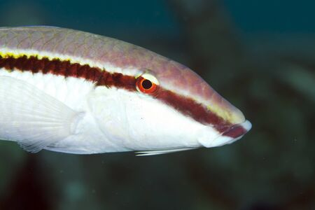 goatfish: Goatfish in the Red Sea Stock Photo