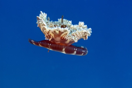 Upside-down jellyfish in the Red Sea photo