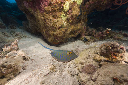 bluespotted: Bluespotted stingray in the Red Sea Stock Photo