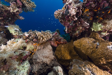 underwater background: Smallscale scorpionfish and tropical reef in the Red Sea
