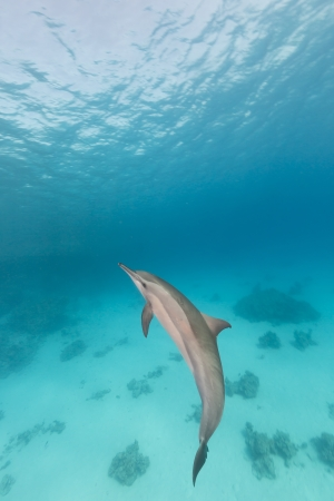 Spinner dolphin (stenella longrostris) in th Red Sea. photo