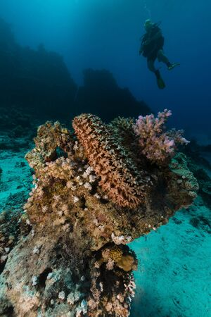 Prickly cucumber (thelenota ananas) in th Red Sea. photo