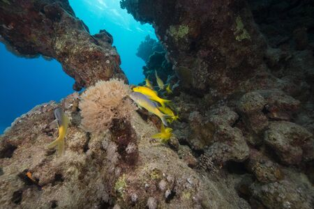 Yellowsaddle goatfish and aquatic life in th Red Sea. photo