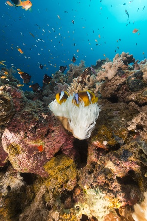 White anemone and tropical reef in the Red Sea photo