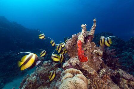 bannerfish: Bannerfish (heniochus intermedius) and tropical reef in the Red Sea Stock Photo