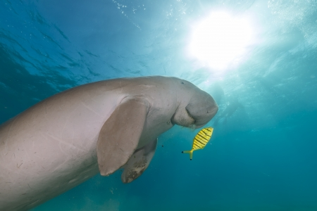 Dugong (dugong dugon) or seacow in the Red Sea photo