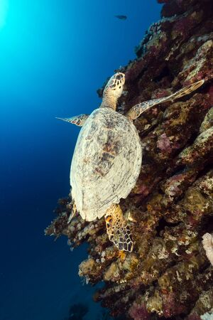 Hawksbill turtle and tropical reef in the Red Sea photo