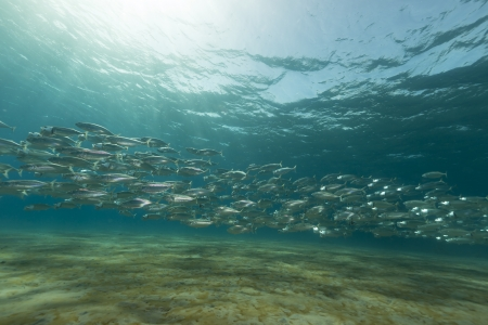 beneath the surface: Striped mackerel the Red Sea. Stock Photo