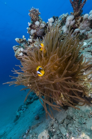 Anemone and anemonefish in  the Red Sea photo