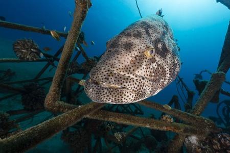 epinephelus: A Malabar grouper (epinephelus malabaricus) in the Red Sea.