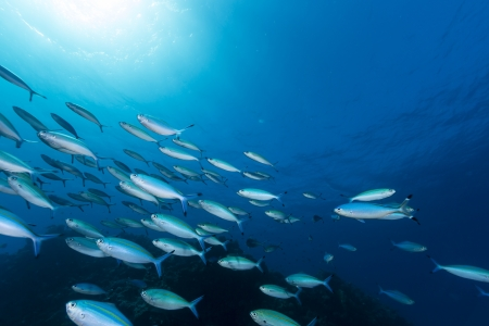 under the surface: Fusiliers in the tropical waters of the Red Sea Stock Photo