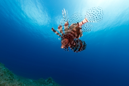 Lionfish in mid water in the Red Sea Banque d'images