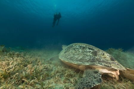 Green turtle and divers in the Red Sea photo