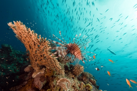 beneath the surface: Lionfish over a table coral in the Red Sea
