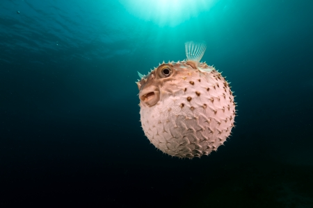 Yellowspotted burrfish using its defense system photo