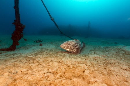 Malabar grouper in the tropical waters of the Red Sea photo