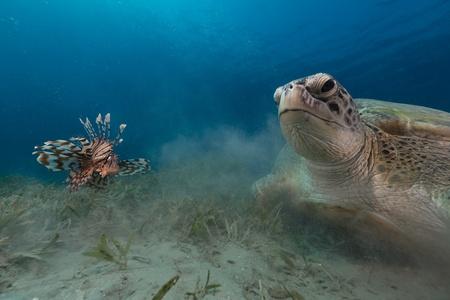 tortue verte: Femme tortue verte et poissons-papillons dans la mer Rouge